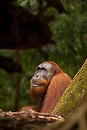 A male Sumatran orangutan, framed in forest dead fall, looks up towards the light.