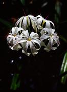 String Lily or Swamp Lily, Crinum americanum, Fakahatchee Strand Preserve State Park, Florida.