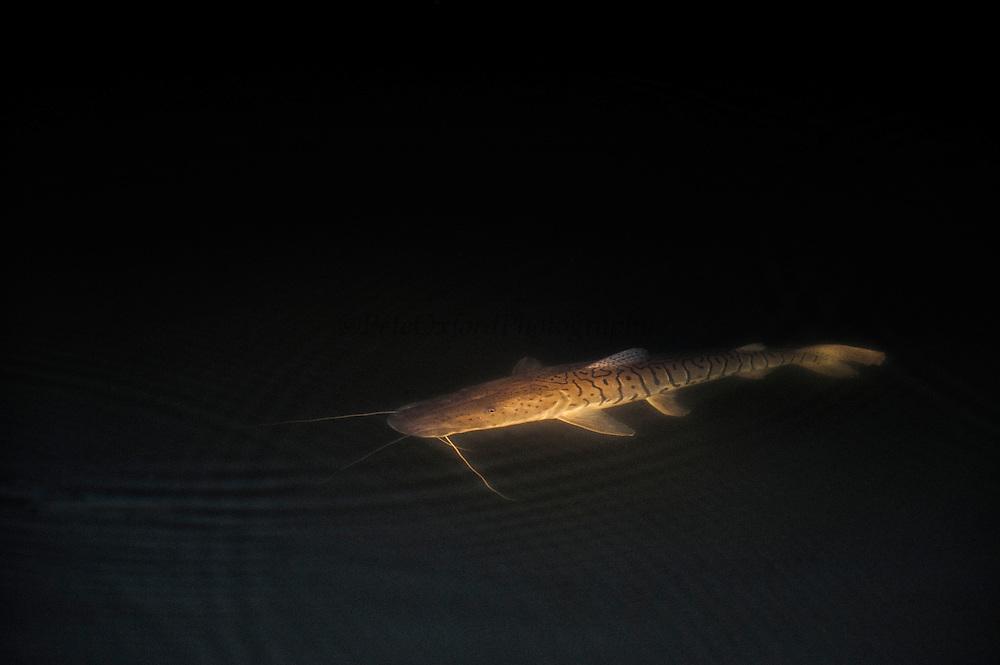 Tiger Catfish (Pseudoplatystoma tigrinum)<br /> Rainforest<br /> Rewa River<br /> Iwokrama Reserve<br /> GUYANA. South America<br /> RANGE: Major rivers of north-eastern Argentina, Paraguay, Bolivia, Uruguay and Brazil.