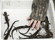2008 - Ohio Salamanders