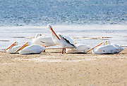 White Pelicans on South Padre Beach