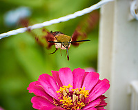 Hummingbird Clearwing Moth (Hemaris thysbe) feeding on a pink Zinnia flower. Image taken with a Nikon 1 V3 camera and 70-300 mm VR lens