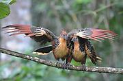 A pair of  hoatzin (Opisthocomus hoazin), stinkbird, Canje pheasant, or stinking turkey display. Yasuni National Park, Amazon, Ecuador.