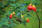 Hummingbird gathering nectar - Boquete, Panama.