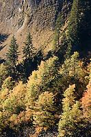 Vine Maple and Douglas Maple paint autumn color on a steep slope below a volcanic columnar basalt cliff in Stevens Canyon, Mount Rainier National Park, Washington, USA