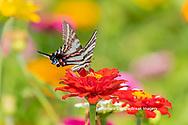 03006-00406 Zebra Swallowtail (Protographium marcellus) on Zinnia Union Co. IL