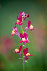 Linaria maroccana 'Licilia Red' - Toadflax