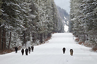 Wild wolf pack in the Canadian Rockies