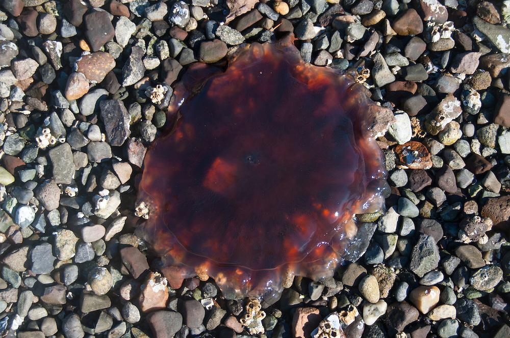 Jelly Fsh, Stuart Island, Washington, US