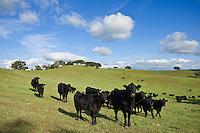 Herd of Black Angus cows and calves in green pasture, Santa Barbara county, California