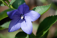 Photograph of a small purple garden flower I planted at my house. Hoping this perennial will continue to be a source of photo inspiration in years to come.