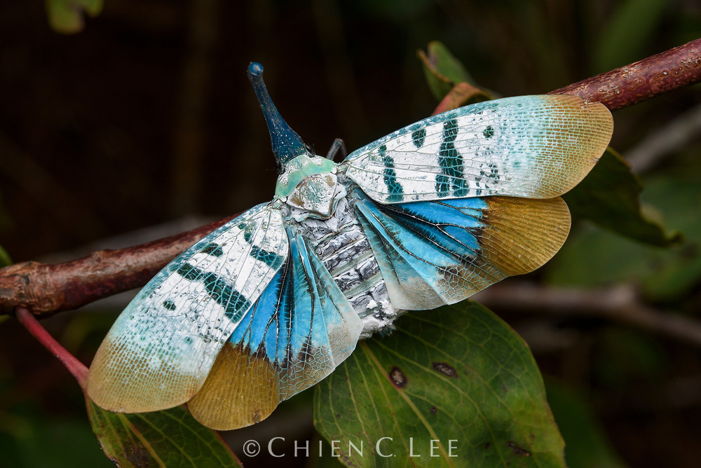 Lanternfly (Pyrops heringi), displaying its brightly colored hind wings when disturbed in an attempt to startle predators. Sabah, Malaysia (Borneo).