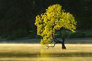 Oceania, New Zealand, Aotearoa, South Island, Otago, Wanaka tree at Lake Wanaka