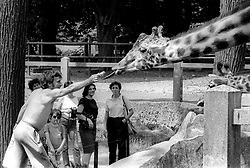 An unidentified man hands pieces of a baguette to a hungry giraffe as amused visitors look on, at the Parc Zoologique de Paris in the Bois de Vincennes, Tuesday, June 10, 1984, in Paris. (Photo by D. Ross Cameron)