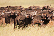 A herd of African Buffalo or Cape Buffalo (Syncerus caffer)