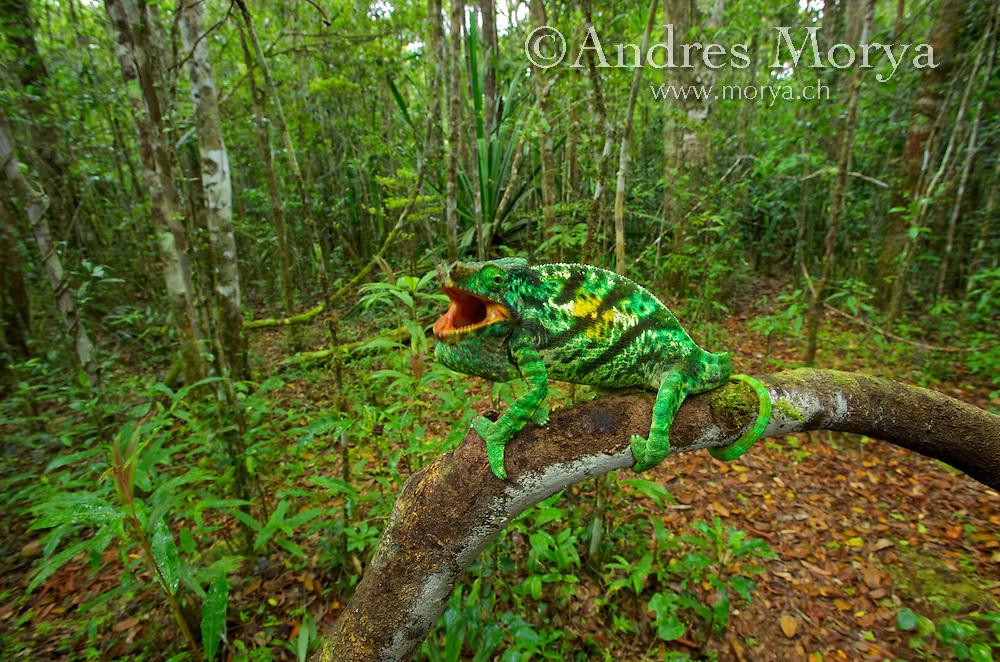 Parson's Chameleons (Calumma parsonii)..Andasibe-Mantadia National Park, Eastern-central Madagascar Image by Andres Morya