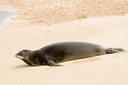 Hawaiian Monk Seal, an endangered specie, hauled out and resting on the beach.(Monachus schauinslandi).Kauai, Hawaii