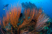 Red Whip-coral sea fan (Ctenocella sp.) with diver on a colourful reef scape, Susan's reef, Kimbe Bay