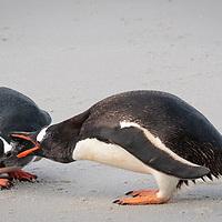 Pygoscelis papua, Carcass Island, Falkland, February 2019
