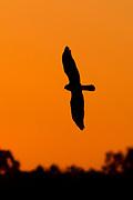 Northern Harrier Hawk in silhouette as it fly as sunrise.(Circus cyaneus).Bolsa Chica Wetlands,California