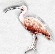 Digitally enhanced image of Scarlet ibis (Eudocimus ruber) side view