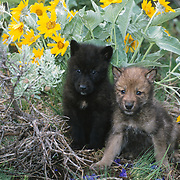 Gray wolf (Canis lupus) pups in arrowleaf balsamroot flowers, Montana. Captive Animal