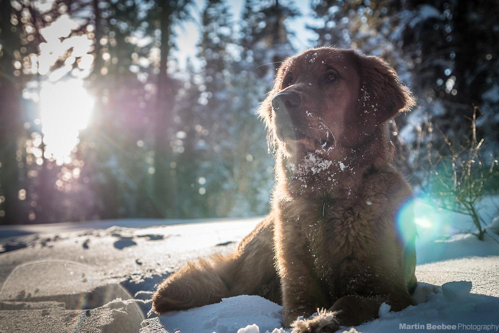 Dog (golden retriever) in snow, Eldorado National Forest, California
