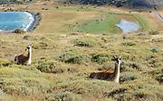 Two Guanacos (Lama guanicoe) ruminate in rough vegetation above Laguna Azul, Torres del Paine National Park,  Republic of Chile 19Feb13