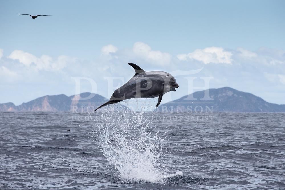 Pelagic Tursiops truncatus (Bottlenose dolphins) offshore, Northern New Zealand. <br /> Photograph Richard Robinson © 2015.