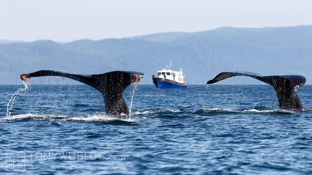 A pair of humpback whales (Megaptera novaeangliae) diving in between group bubble net feeding, with a charter vessel visible between the flukes. Visible on the corners of the fluke of the whale on the left are Coronula diadema barnacles, which only grow on humpback whales. Hanging off those hard barnacles are Conchoderma auritum, a gooseneck barnacle that only appears on Coronula diadema barnacles.