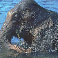 An Indian elephant (Elephas maximus indicus) bathes in a river in Nepal's Royal Chitwan National Park.