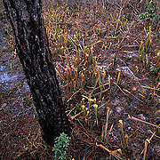 Texas, Big Thicket National Preserve. Pitcher plants, a carnivorous plant.