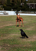 A dog stalking a crow in Battersea Park, London. The dog, who is fast, has no chance t catch the bird, which is intelligent and quick.