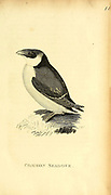 Common seadove from the 1825 volume (Aves) of 'General Zoology or Systematic Natural History' by British naturalist George Shaw (1751-1813). Shaw wrote the text (in English and Latin). He was a medical doctor, a Fellow of the Royal Society, co-founder of the Linnean Society and a zoologist at the British Museum. Engraved by Mrs. Griffith