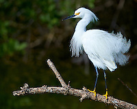 Snowy Egret on Biolab Road at Merritt Island National Wildlife Refuge in Florida. Image taken with a Nikon Df camera and 300 mm f/4 lens (ISO 100, 300 mm, f/4, 1/1250 sec)