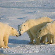 Mother polar bear and cubs waiting for Hudson Bay to freeze over.