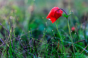 Israel, Close up of bud of a red Anemone coronaria (Poppy Anemone). This wildflower can appear in several colours. Mainly red, purple, blue and white
