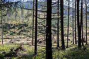 A forest landscape where spruce trees have been badly affected by the European spruce beetle, in Dolina Chocholowska a hiking route in the Polish Tatra mountains, on 17th September 2019, near Zakopane, Malopolska, Poland.The European spruce beetle Ips typographus is one of 116 bark beetles species in Poland which is killing thousands of spruces. The insects population can grow rapidly via wind and snow etc. which eventually leaves a gap in the landscape, thereby changing the forest floors ecology.