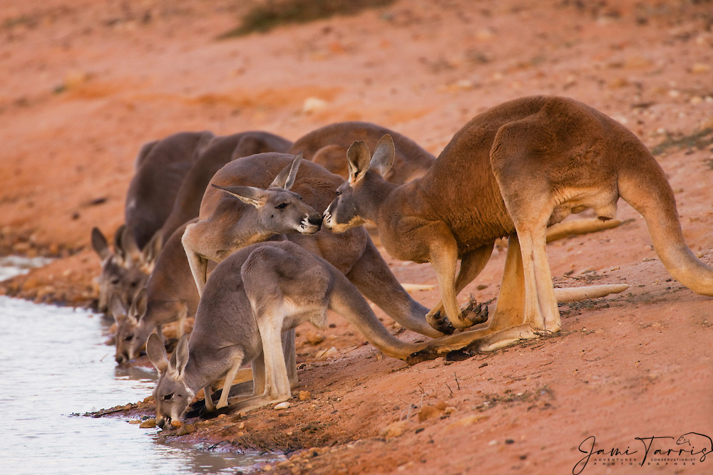 A large male red kangaroo (Macropus rufus)  scenting and showing interest in a female in oestrus at a water hole,  Sturt Stony Desert,  Australia