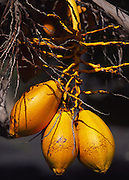 Coconuts, Coconut Palm tree<br />