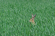 Brown Hare, Lepus europaeus; hiding in wheat field; in Lancashire, UK