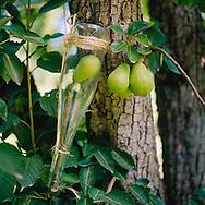 Pears being grown inside of a bottle in an orchard in Hood River, Oregon, which will be used in eau de vie de poire, a small batch pear brandy by Clear Creek Distillary in Portland, Oregon