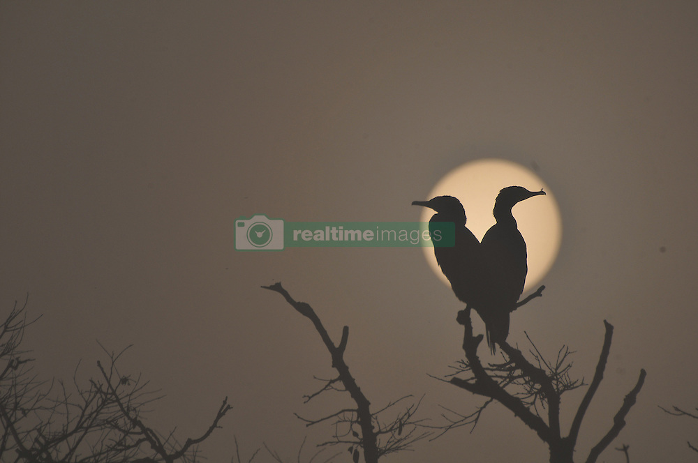 Jan. 8, 2016 - Kathmandu, Nepal - Migrated birds, Neotropic Cormorant or Olivaceous Cormorant (Phalacrocorax brasilianus or Phalacrocorax olivaceus) are silhouetted during a misty morning as the sun rises over at the Taudaha Wetland Lake, on the outskirts of Kathmandu. The lake of snakes, Taudaha is one of the biggest rest place for the beautiful endangered migratory birds from the southern parts of south-east Asia as well as from Africa and Australia. Taudaha is popular destination for birdwatchers and worshipers. (Credit Image: © Narayan Maharjan/Pacific Press via ZUMA Wire)