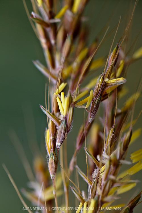 Indian grass (Sorghastrum nutans 'Indian Steel')