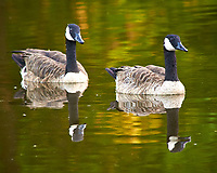 Canada Geese in the Pond. Image taken with a Nikon D300 camera and 80-400 VR lens (ISO 400, 400 mm, f/8, 1/50 sec).