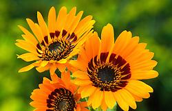 Arctotis fastuosa. Cape daisy