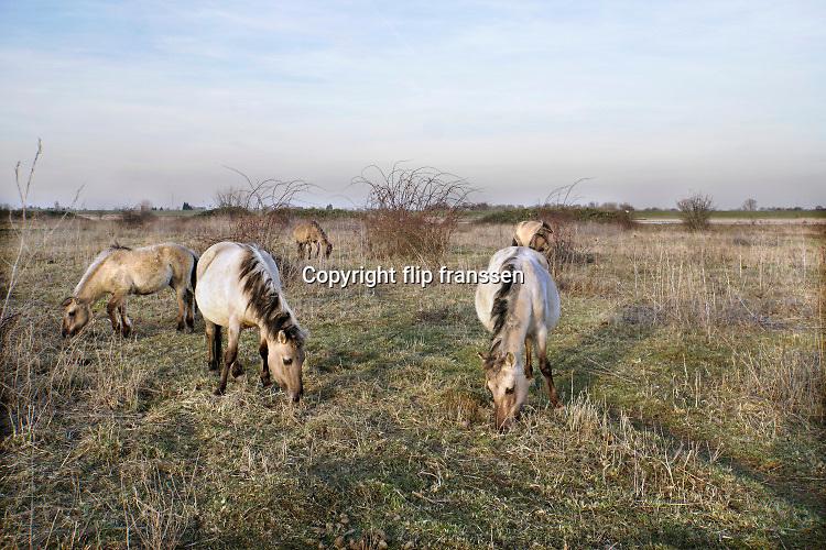 Nederland, Ooij, 17-2-2019Een groep Konikpaarden graast in de Ooijpolder, Millingerwaard. De Konik leeft in kuddeverband. De wilde paarden zijn uitgezet in natuurgebieden door heel Nederland. Foto: Flip Franssen