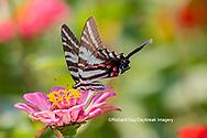 03006-00418 Zebra Swallowtail (Protographium marcellus) on Zinnia Union Co. IL