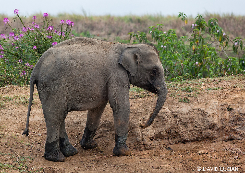 A young elephant at the central entrance of Kazirangha National Park.