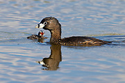 A pied-billed grebe (Podilymbus podiceps) mother swims with her chick on the water of a pond in the Union Bay Natural Area, Seattle, Washington.